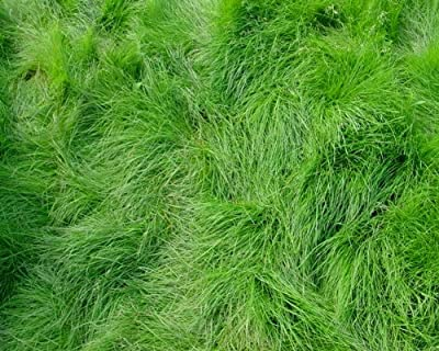 The Dirty Gardener Creeping Red Fescue Lawn Grass - 5 Pounds