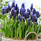 Van Zyverden Grape Hyacinths Multi Colored Latifolum Set of 25 Bulbs