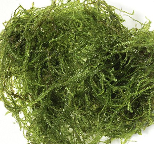 Mainam Christmas Moss in Cup Live Aquarium Plant Decorations Freshwater Not Java...