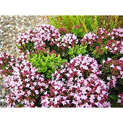 Origanum vulgare Oregano Fragrant Leaves Seeds! : Garden & Outdoor