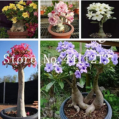 Pinkdose 100% True Desert Rose Bonsai Ornamental Plants Balcony Bonsai Potted Flowers Bonsai Adenium Obesum Bonsai - 1 Particles/Lot: ()