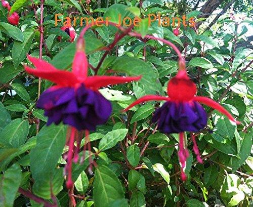 FUCHSIA - DARK EYES - 2 PLANTS - 4