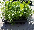 "Blueberry Plants ""Florida Rose"" (Rabbiteye) Includes (4) Four Plants"