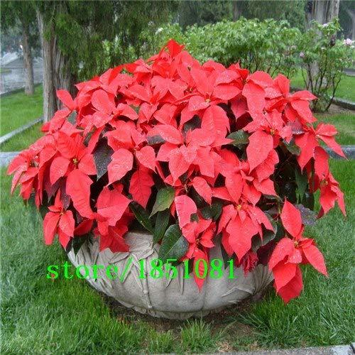 Go Garden 100 pcs/Bag, Poinsettia Seeds, Euphorbia pulcherrima, Potted Plants, Planting Seasons, Flowering Plants: Red