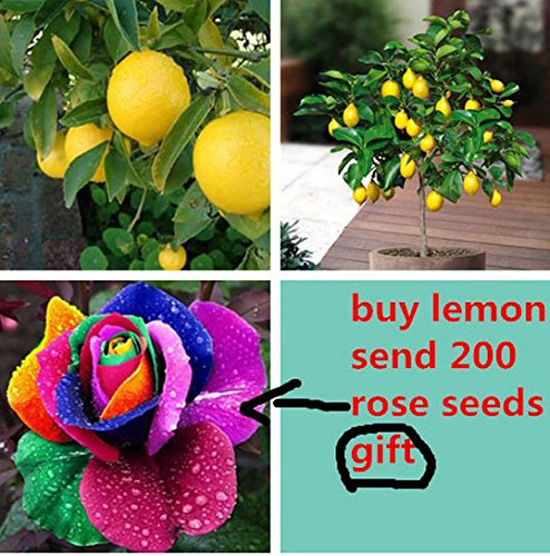 Rainbow Citrus Vitamins (20 Lemon Tree Seeds,send 200 Rainbow Rose Seeds As Gift Bonsai Fruit Tree Seeds for Home Garden for Backyard)