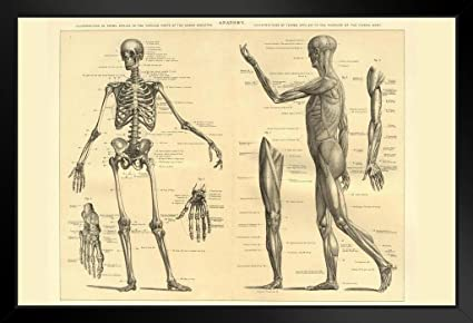 Amazon.com: Human Anatomy Skeleton and Muscles of The Body ...
