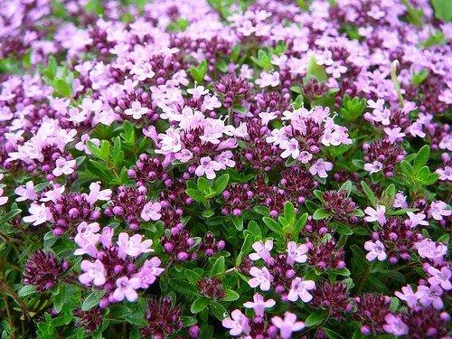 Chintz Flowers (Herb Thymus Serpyllum Creeping Thyme ground cover Pink Purple Chintz Herbs Garden Flower Bulk Seeds)