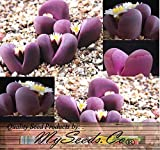 5000 x LITHOPS OPTICA Species Mix Seeds - Cactus Mix - House Plants cactus cacti succulent For Greenhouse and Outdoor Too - These seeds are VERY small, each pack of seed will contain more than advertised. But if you are uncomfortable working with VERY sma
