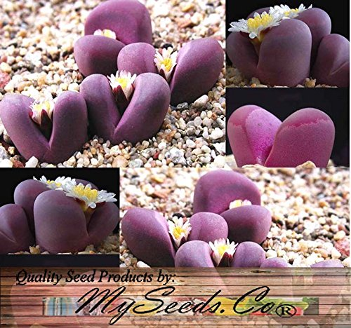 50+ LITHOPS OPTICA Species Mix Seeds - Cactus Mix - House Plants cactus cacti succulent For Greenhouse and Outdoor Too - These seeds are VERY small, each pack of seed will contain more than advertised