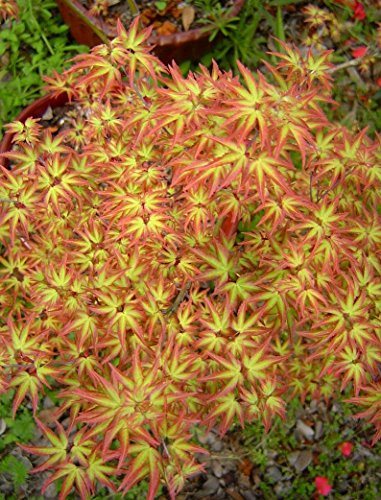 (Tatoo Dwarf Japanese Maple 1 - Year Live Plant)