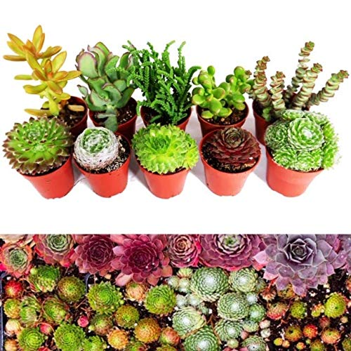10 Sempervivum Succulent Plants – 5 Sempervivum – 5 Succulents Plants in 5.5cm Pots