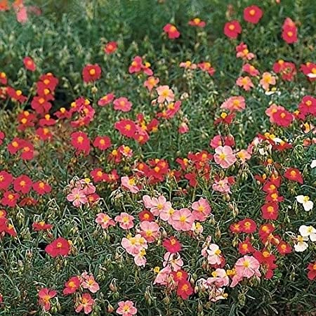 100 seeds Rock Rose Helianthemum Mutabile Mix