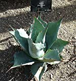 CROSO Seeds PACAKGE ONLY NOT Plants: Seed - Agave Parrasana - Seeds