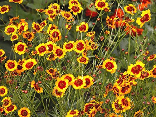 Plains Coreopsis (3000 seeds) tickseed Florida State Wildflower