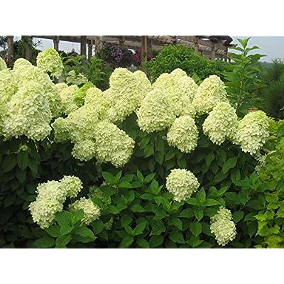 Limelight Panicle Hydrangea - Live Plant - 3 Gallon Pot : Garden & Outdoor