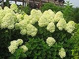 Limelight Hardy Hydrangea - Proven Winners - Quart Pot