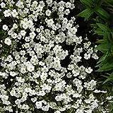Arenaria Mountain Sandwort Groundcover Seeds (Arenaria Montana) (50)