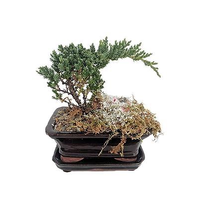 Holiday Japanese Juniper Bonsai Tree - Ceramic Bonsai Pot with Moss,Snow,Berries by AchmadAnam: Garden & Outdoor