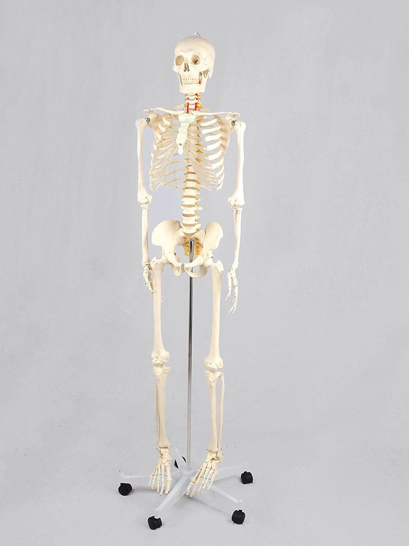 Anatomie Skelett lebensgroß 181cm inklusive Ständer auf Rollen ...