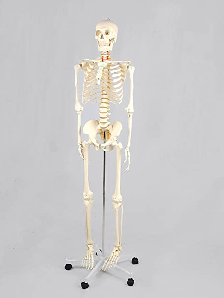 Anatomy skeleton, life-size, 181 cm including stand on wheels, cover ...