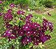 Warsaw Nike Purple Clematis Vine - Live Plant - Quart Pot