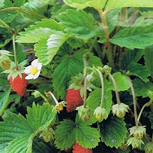 Wild Strawberry- 100 Seeds (Wild Strawberries Seeds)