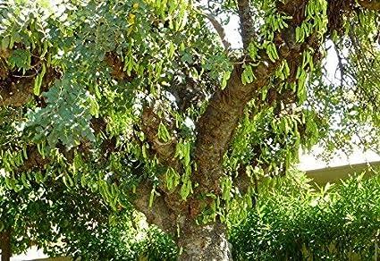 fraîches Graines Caroube Arbre Naturel Chocolate Greek variété Ceratonia siliqua 250