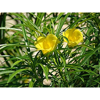 10 Thevetia peruviana Seeds, Lucky Nut, Yellow Oleander, Mexican Oleander Tree Seeds : Garden & Outdoor