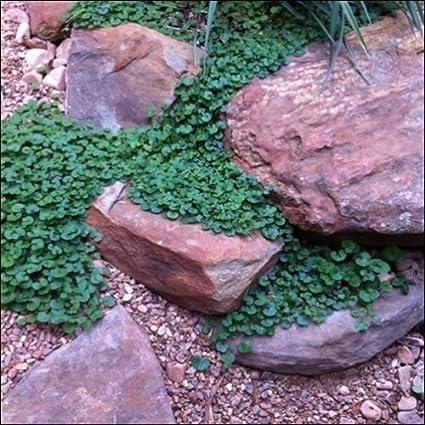 Amazon.com: Semillas de Dichondra cubierta de piso ...