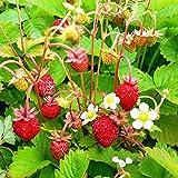 Portal Cool 200 Untreated Seeds Strawberry Alexandria Wood - Fragaria Vesca