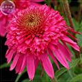 BELLFARM Echinacea Mixed 9 Colors Big Blooms Perennial Flower Seeds, 200 seeds, professional pack, heirloom hybrid coneflowers