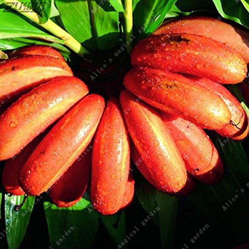 100Pcs Chinese Red Banana Fruits Seeds Bonsai Rare Sweet Delicious Healthy Plantain Vegetables and Fruits for The Garden