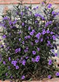 5 Purple Mexican petunia Attracts: Butterflieslive plants
