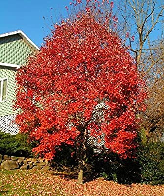 50 Red Maple Tree Seeds, Acer Rubrum, Wings