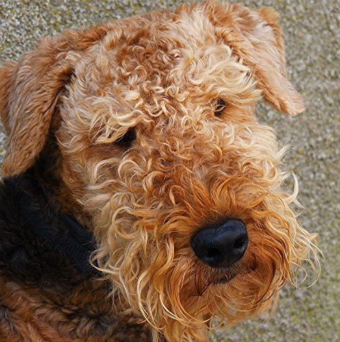 Square 6x6 Approx Size Airedale Dog Greeting Card