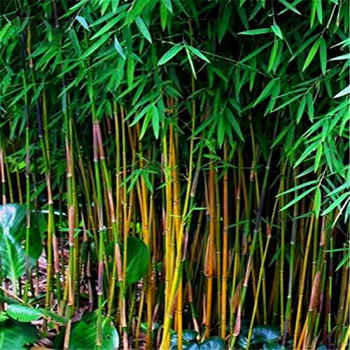 Lysee 20Pcs/Bag Black Bamboo Seeds Rare Giant Black Moso Bamboo Bambu Seeds Professional Pack Bambusa Lako Tree Seeds for Home Garden (Tree Bambu)