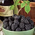 "Jewell Black Raspberry Plant - Very Sweet - 2.5"" Pot"