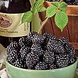 "Jewell Black Raspberry Plant - Very Sweet - 2.5"" Pot"