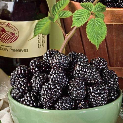 Jewell Black Raspberry Plant - Very Sweet - 2.5