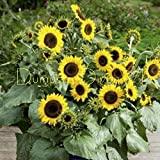 Flower Seeds - 40 Seeds of Sutton's Primrose heirloom SUNFLOWER Organic NON GMO containers