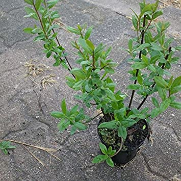 10 Stk Schwarzgrüner Liguster Atrovirens Ligustrum Vulgare