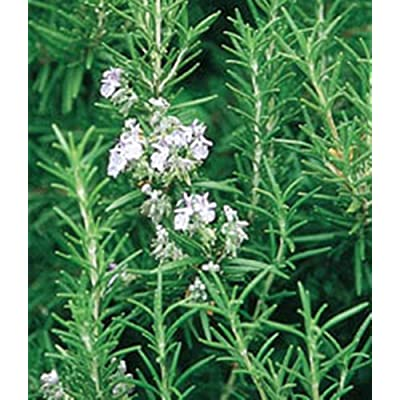 Rosemary Officinalis 25 Seeds - Deer Resistant Perennial - Herb!! - Fragrant Grey-Green Foliage.Rosemarium Officinalis : Garden & Outdoor