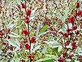 Jamaican Sorrel Seeds, AKA Florida Cranberry,Indian Roselle,Hibiscus sabdariffa 25 seed