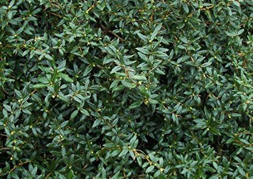 10 Stück Immergrüne Berberitze im Topf/Container Größe 25 bis 30 cm