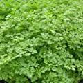 chervil, FRENCH PARSLEY, herb spice seeds! GroCo