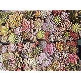 Sukkulenten/Kakteen/Samen Mix/Lithops/Zierpflanzen/ca. 50 Samen