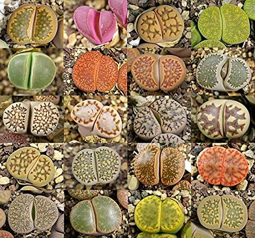 Lithops mixed seeds - 20 seeds CactusPlaza.com