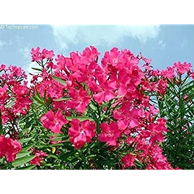 25 Nerium oleander Seeds, Tropical, Perennial, add color & beauty to landscaping. : Garden & Outdoor