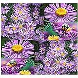 (300) New England Aster Flower Seeds - Symphyotrichum novae-angliae