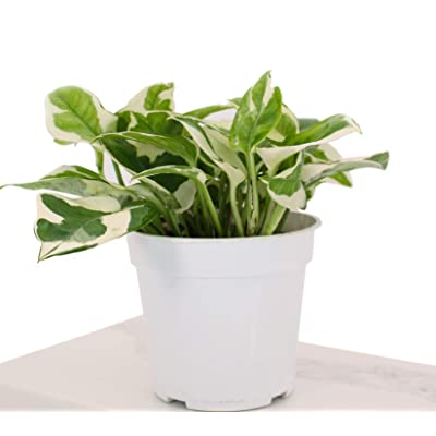 "Houseplant Homestead Pothos N'Joy, Epipremnum Aureum, Green White Variegated Leaves, Live Indoor Tropical Plant (with 4"" Nursery Pot) : Garden & Outdoor"